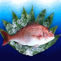 北灘産 養殖真鯛 1.5kg【クール便:冷蔵】