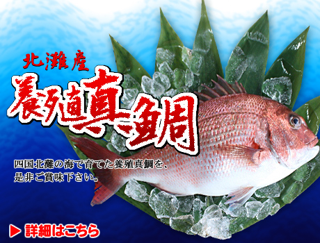 四国愛媛北灘の海で育てた真鯛,鰤ブリをお取り寄せ。(有)大徳水産