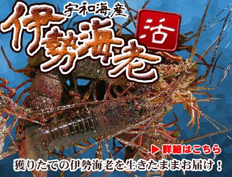 愛媛宇和海直送の魚介類(伊勢海老)をおとり寄せ。宇和海の幸の店(山口鮮魚店)